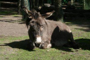 Coco Ezel Grijze Donkey Grey
