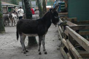Corne ezel donkey