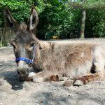Froukje mini ezel ezelopvang donkey sanctuary