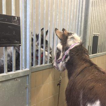 Goofert was op bezoek bij de hoefsmit van de faculteit diergeneeskunde utrecht universiteit kliniek paarden