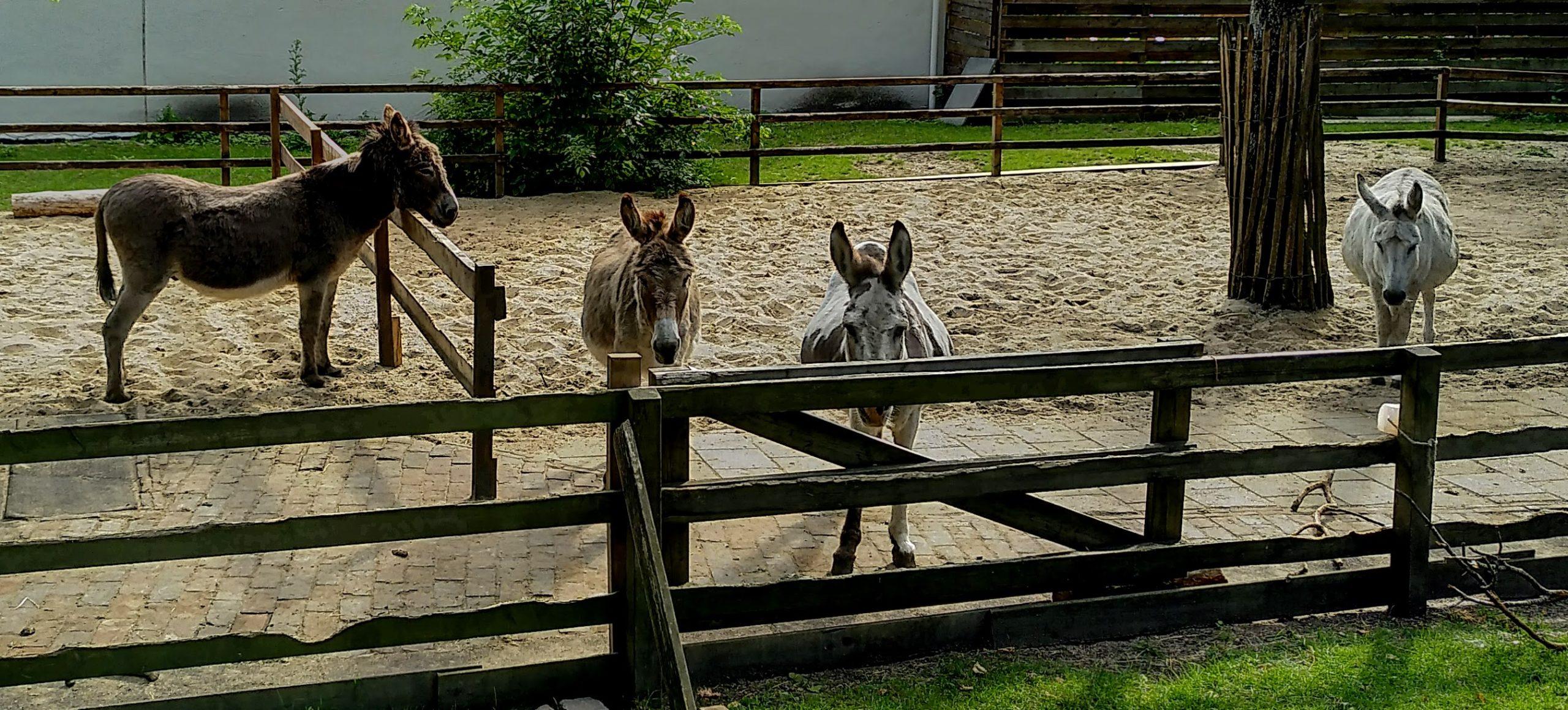 Ezels achter het hek