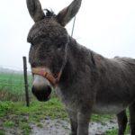 Janneke Ezel Muildier Mule Donkey