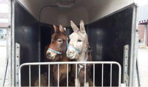 Jelle en Mack ezels vader en zoon Donkey Sanctuary