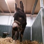 muildier ezel mule donkey
