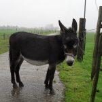 Monsieur Roro ezel opvang Bunnik