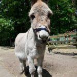 Piccolo ezel donkey mule