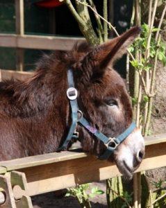 Trijntje Ezel Donkey mule opvang