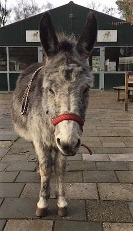 Felix ezel wandeling in de kou donkey ezel opvang donkey sanctuary