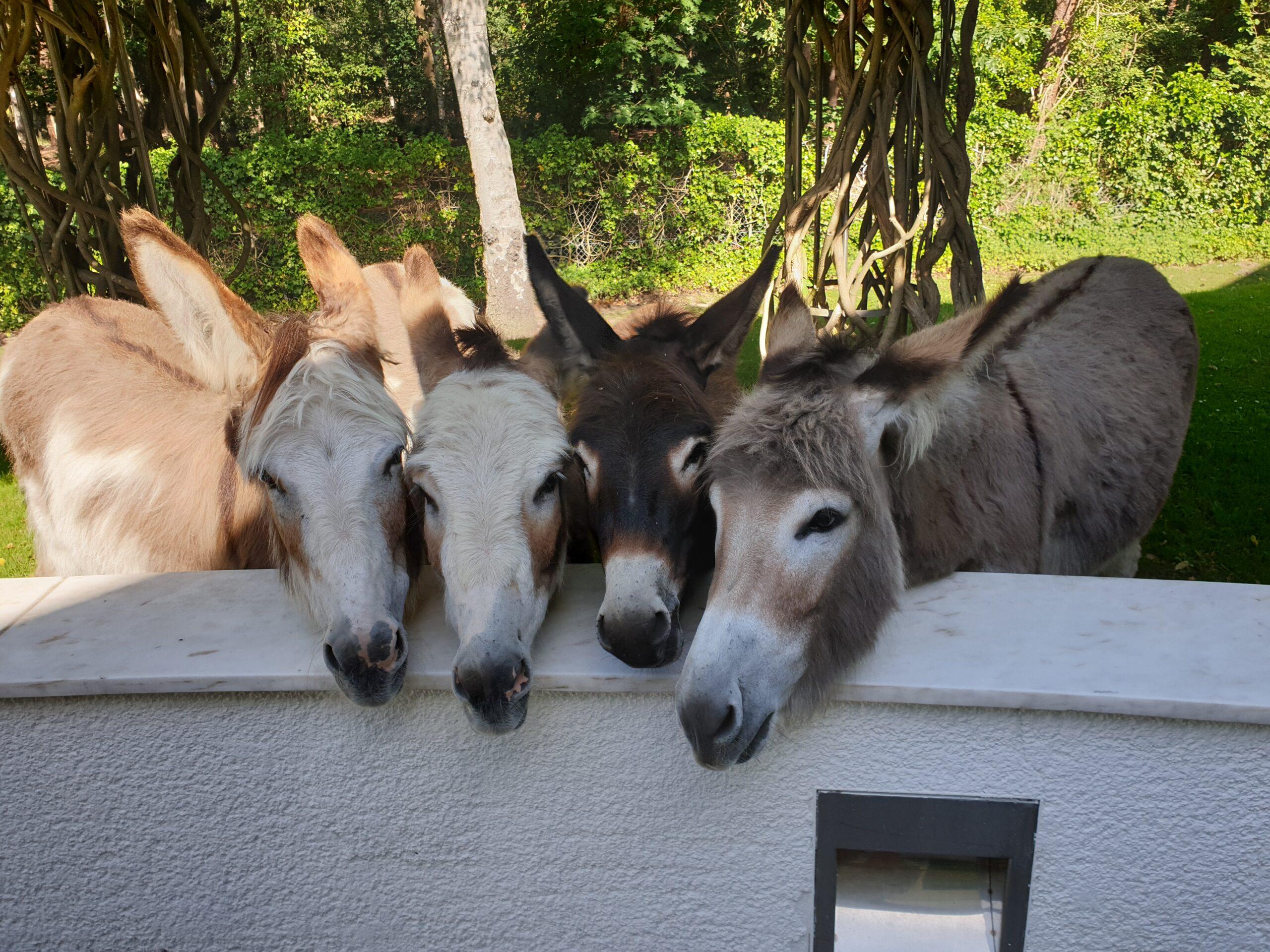 Het viertal ezels
