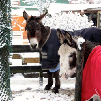 Kerstkaart van de ezels en muildieren en vrijwilligers van de ezelopvang stichting