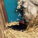 Klara de kip trekt in bij Ezel Elisabeth, samen in de stal genieten