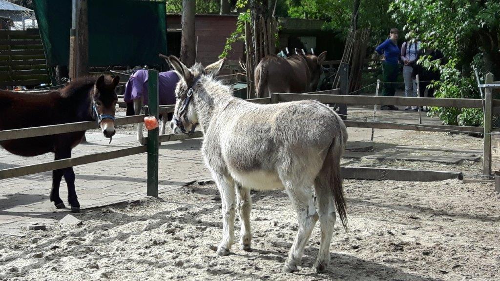 sorbo moet wennen aan leven met andere ezels, langzaam gaat het goed komen