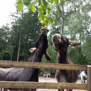 Trijntje en Dieske eten blaadjes uit de walnotenboom. Ezelgymnastiek