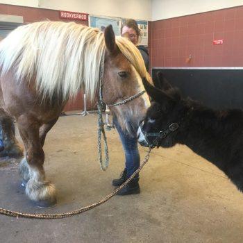 Ezel Tula krijgt een valentijnskus belgisch trekpaard