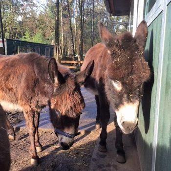 Tulla en Mannis eten lekker hooi in het ezel opvang huis